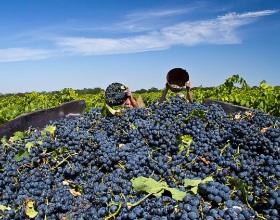 Сбор винограда на Кубани начался раньше срока