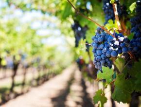 В Краснодарском крае на поддержку виноградарства в 2018 году направили 420 млн рублей