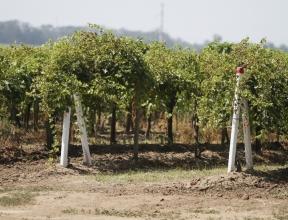 Виноградный край: на Кубани сельскохозяйственную отрасль превратили в бренд