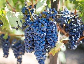 Молдавские виноделы готовы сотрудничать с российскими компаниями