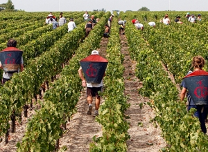Во Франции начался сбор винограда в регионе Бордо