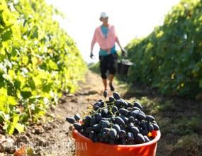 Урожай винограда на Ставрополье составит 35 тысяч тонн
