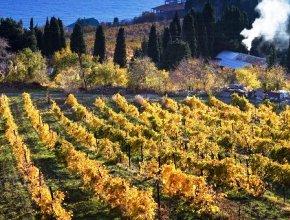 Пять агрофирм Севастополя вошли в топ-20 крупнейших виноградарских хозяйств РФ