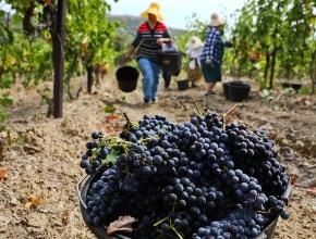 Производство вина в России приблизилось к новому историческому минимуму