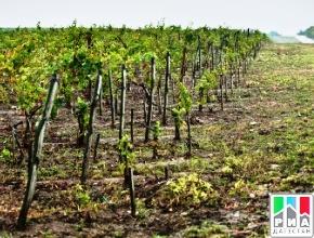 Пять районов Дагестана по итогам 2018 года стали лидерами по производству и закладке новых виноградников